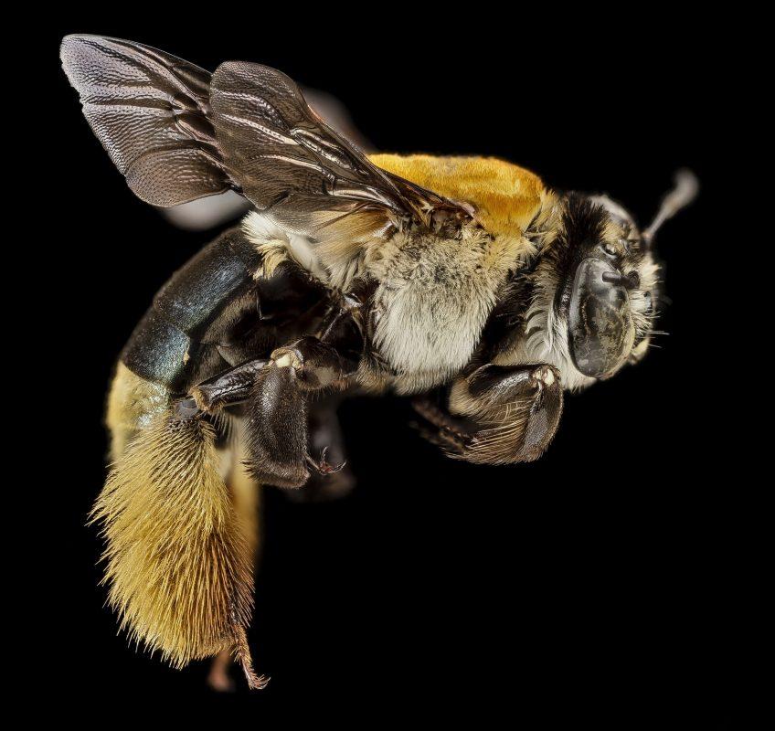 abeille-productrice-miel-blanc